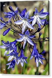 Blue Allium Acrylic Print