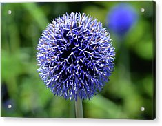Acrylic Print featuring the photograph Blue Allium by Terence Davis