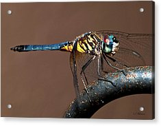 Blue And Gold Dragonfly Acrylic Print by Christopher Holmes