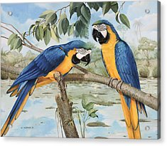 Blue And Gold Macaws Acrylic Print by William Albanese Sr