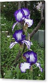 Blue And White Iris Monet Like Acrylic Print