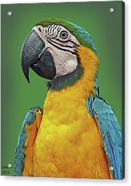 Blue-and-yellow Macaw Acrylic Print