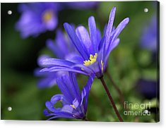 Blue Anemone  Acrylic Print by Sharon Talson