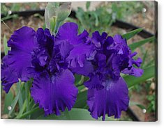 Acrylic Print featuring the photograph Blue Bearded Irises by Robyn Stacey