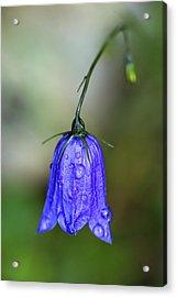Blue Bell Acrylic Print by Nailia Schwarz