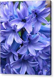 Blue Belles Acrylic Print by Staci-Jill Burnley