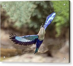 Blue-bellied Roller In Flight Acrylic Print