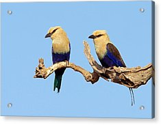 Blue-bellied Rollers On Branch  Acrylic Print