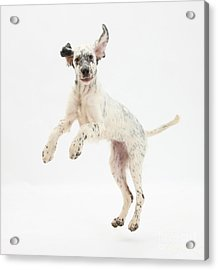 Blue Belton English Setter Acrylic Print by Mark Taylor