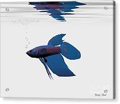 Blue Betta Acrylic Print by Corey Ford