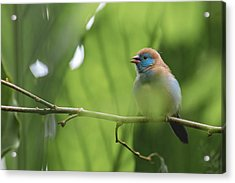 Acrylic Print featuring the photograph Blue Bird Chirping by Raphael Lopez