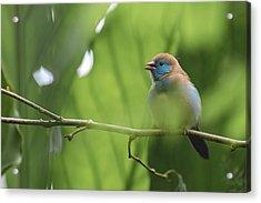 Blue Bird Chirping Acrylic Print