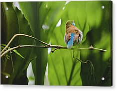 Acrylic Print featuring the photograph Blue Bird Has An Itch by Raphael Lopez