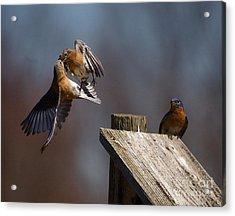 Blue Bird Mayhem Acrylic Print by Robert Pearson