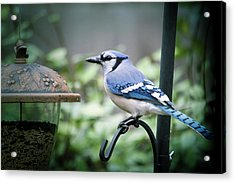 Blue Bird Of Happiness Acrylic Print