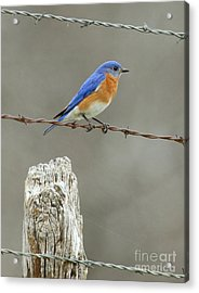 Blue Bird On Barbed Wire Acrylic Print by Robert Frederick