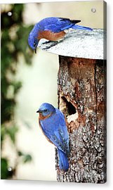Blue Birds Are Moving In Acrylic Print by Steven Llorca