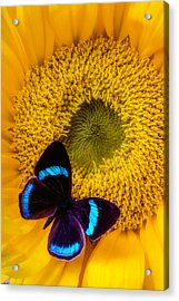 Blue Black Butterfly On Sunflower Acrylic Print