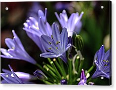 Acrylic Print featuring the photograph Blue Blossoms by Richard Stephen