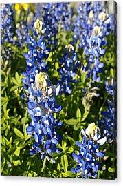 Blue Bonnets Acrylic Print by James Granberry