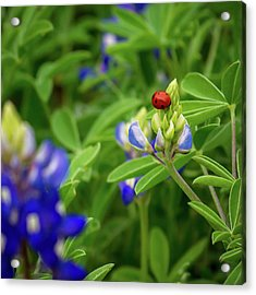 Texas Blue Bonnet And Ladybug Acrylic Print