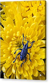 Blue Bug On Yellow Mum Acrylic Print