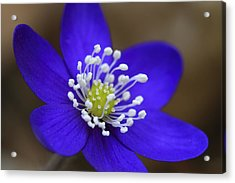Blue Buttercup Acrylic Print by Romeo Koitmae