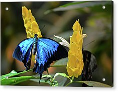 Blue Beauty Butterfly Acrylic Print
