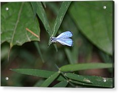 Blue Butterfly Acrylic Print by Heather Green