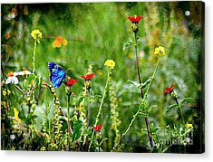 Blue Butterfly In Meadow Acrylic Print