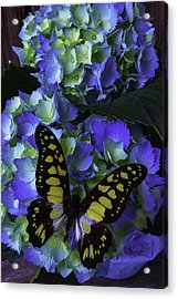 Blue Butterfly On Hydrangea Acrylic Print