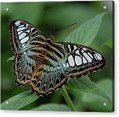 Blue Clipper Butterfly Open Acrylic Print