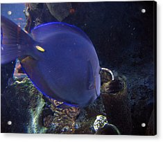 Blue Color Fish Acrylic Print