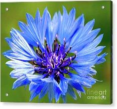 Blue Cornflower Acrylic Print