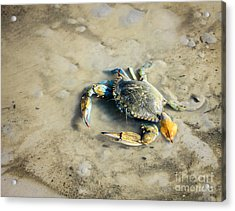 Acrylic Print featuring the photograph Blue Crab by Sandy Adams