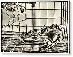 Blue Crabs - Vintage Acrylic Print