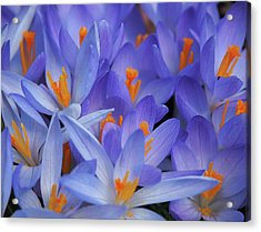 Blue Crocuses Acrylic Print