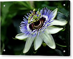 Blue Crown Passion Flower Acrylic Print