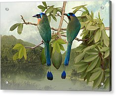 Blue-crowned Motmots In Kapok Tree Acrylic Print