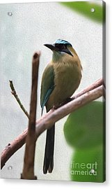 Blue-crowned Motmot Oil Acrylic Print