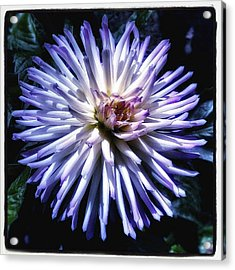 Acrylic Print featuring the photograph Blue Dahlia. Like A Winking  Star In by Mr Photojimsf