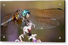 Blue Dasher Dragonfly Resting Acrylic Print