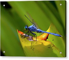 Blue Dasher Dragonfly Acrylic Print by Sandra Anderson