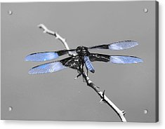 Acrylic Print featuring the photograph Blue Dragon by Cindy Manero