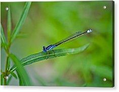 Blue Dragonfly Acrylic Print by Az Jackson