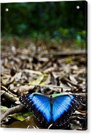 Blue Emperor Acrylic Print
