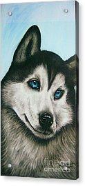 blue eye Husky  Acrylic Print by Anastasis  Anastasi