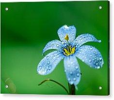 Blue Eyed Grass Flower Acrylic Print
