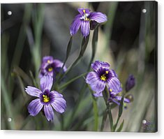Blue Eyed Grass Acrylic Print