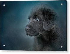 Blue Eyed Puppy Acrylic Print